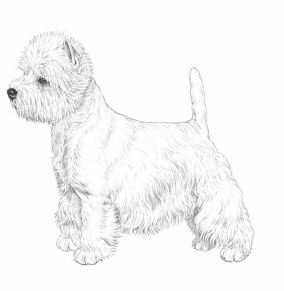 standard west highland white terrier 01
